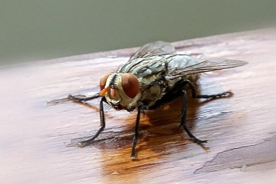 Flies 3